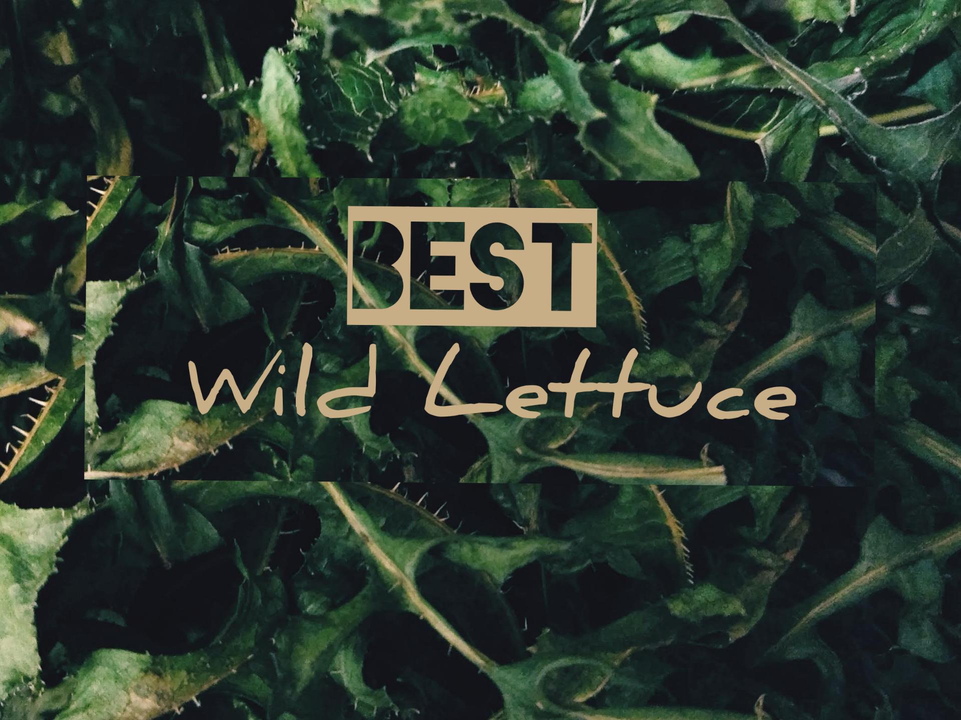 Best Wild Lettuce
