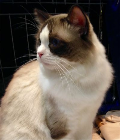 NY Divine Dolls Cattery